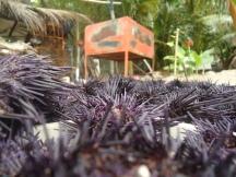 urchin galore