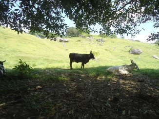 cow and pasture