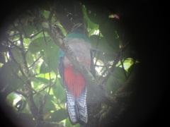 female quetzal front