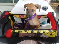 puppy traveler