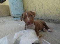 pitbull pup
