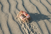 crab mating dance