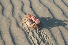 crab mating dance