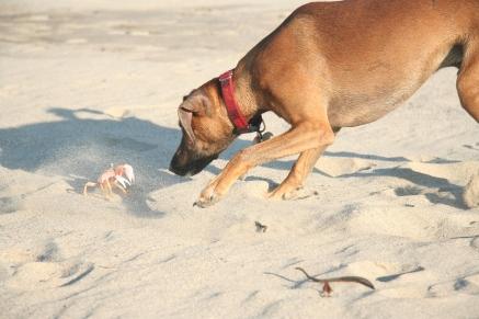Pulgas meets a crab