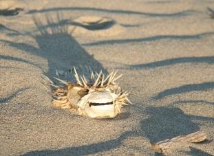 puffer fish skeleton